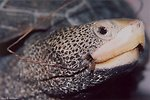 Terrapin with fish hook lodged in mouth