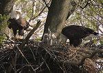 bald eagle father feeding his chicks