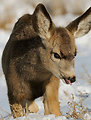 young fawn in snow