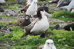short-tailed albatross chick