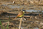 Great Kiskadee at Santa Ana NWR