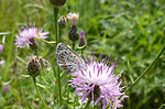 Photo of the Week - Karner Blue Butterfly (NY)