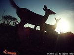 key deer at sunset