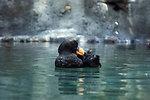 Black puffin