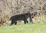 Photo of the Week - Bobcat (MA)
