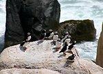 Atlantic puffins at Matinicus Rock