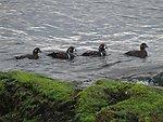 Photo of the Week - Harlequin ducks (RI)