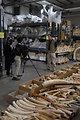 Ivory stockpile slated for destruction in the crush.