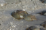 Mating pair - Horseshoe crabs