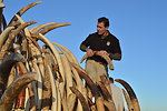 Steve Oberholtzer, USFWS assembling ivory tusks on a tower for display before crushing