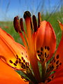 Prairie Lily
