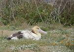 young short-tailed albatross