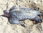 1st leatherback sea turtle nest ...