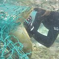 Freeing green sea turtle from net