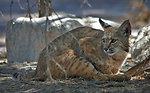 Bobcat at Sonny Bono NWR-4
