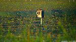 Hooded Merganser (Lophodytes cucullatus) - hen at nest box