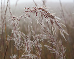 Indian Grass and Dew