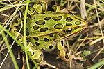 Leopard Frog Closeup