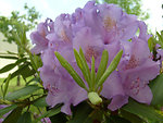 Rhododendrons bloom