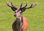 Deer stag