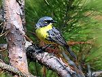 Endangered Kirtland's warbler (Dendroica kirtlandii)