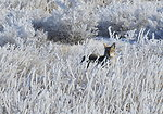 Coyote in hoar frost on Seedskadee NWR 1