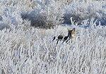 Coyote in hoar frost on Seedskadee NWR 1