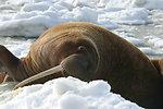 Walrus Cow Asleep on the Ice