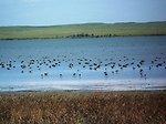 Waterfowl on Lake Bowdoin