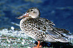 Female northern shoveler Lower Klamath NWR, Siskiyou County, California