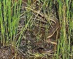 two striped garter snake