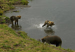 Brown bear and two cubs in stream