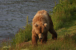 Sow at Dog Salmon River