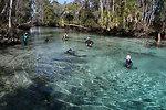 Endangered Florida manatee (Trichechus manatus), Crystal River National Wildlife Refuge
