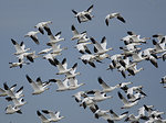 snow geese and Ross' geese