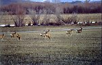Cokeville Meadows NWR Deer in the Field