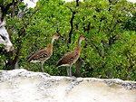 WIWD pair on Rabbit Island - 2