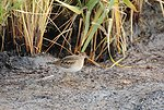 Juvenile Sharp-tailed Sandpiper