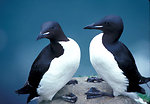 Thick-billed Murres, 1989