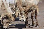 Bighorn Sheep Scarring