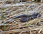 Northern Water Snake (Nerodia sipedon) with young along the dike 06 May 2012