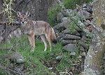 coyote in California