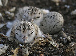 Western snowy plovers and egg