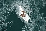 Walrus Cows on Ice Nursing Calves