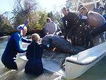 Endangered Florida manatee (Trichechus manatus), Crystal River National Wildlife Refuge, Florida