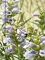 Pollinators   Blowout Penstemon