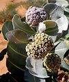 Welsh milkweed (Asclepias welshii)