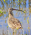 Long-billed Curlew, Laguna Atascosa National Wildlife Refuge