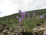 White River beardtongue