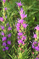 Blazingstar (Liatris punctata) on Lacreek National Wildlife Refuge